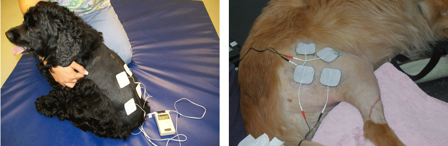 Electrical Stimulation For Dogs Toronto Dog Rehab
